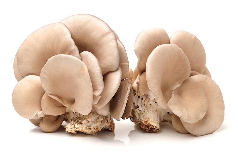Micelio de Pleurotus ostreatus